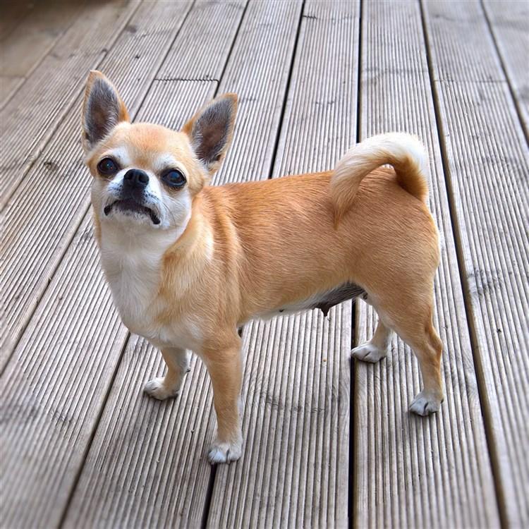 Animal Dog Chihuahua Adult Short Coat Female Bloodline: Minnie Broniedell Boo Boo Girl GlamChi