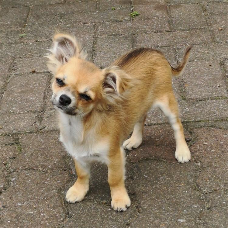 Animal Dog Chihuahua Adult Long Coat Female Pet: Domino GlamChi Thunder Streak