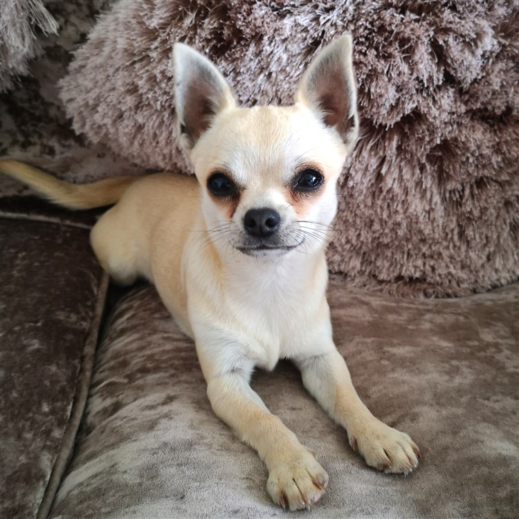 Animal Dog Chihuahua Puppy Short Coat Female Pet: Leeloo GlamChi Big Bada Boom