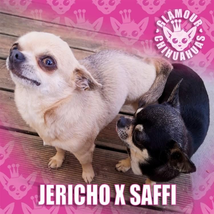 Breeding Dog Complete Chihuahua: Jericho x Saffi