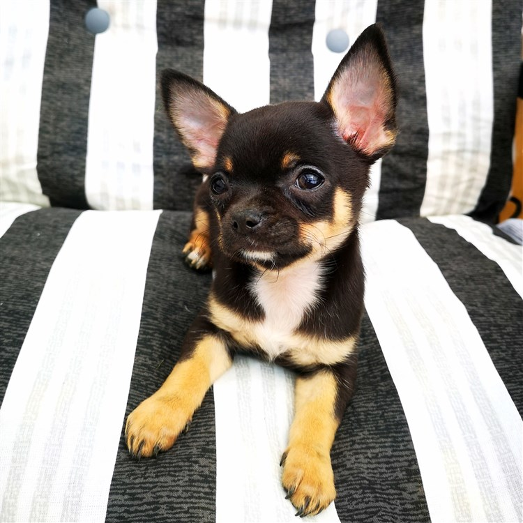 Animal Dog Chihuahua Puppy Short Coat Female Pet: Maddie GlamChi Natasha Romanoff