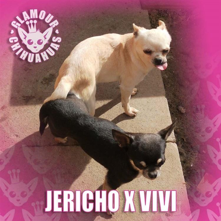 Breeding Dog Chihuahua Complete: Jericho X Vivi