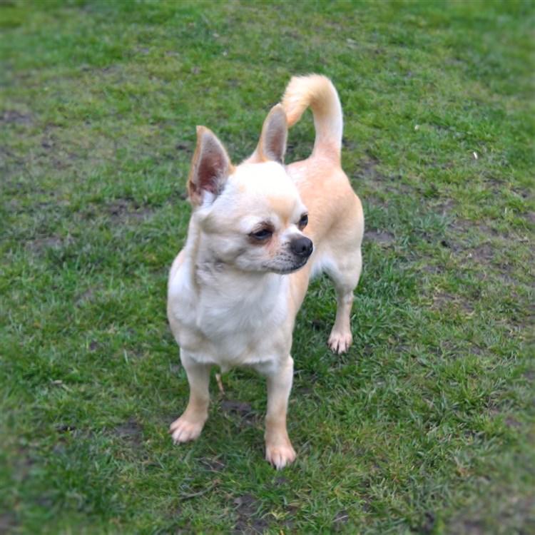 Animal Dog Chihuahua Adult Short Coat Female Pet: GlamChi Lashings of Cream Vivi