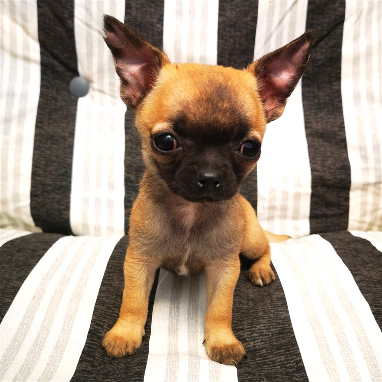 Animal Dog Chihuahua Puppy Short Coat Female Pet: Molly GlamChi Laura Kinney