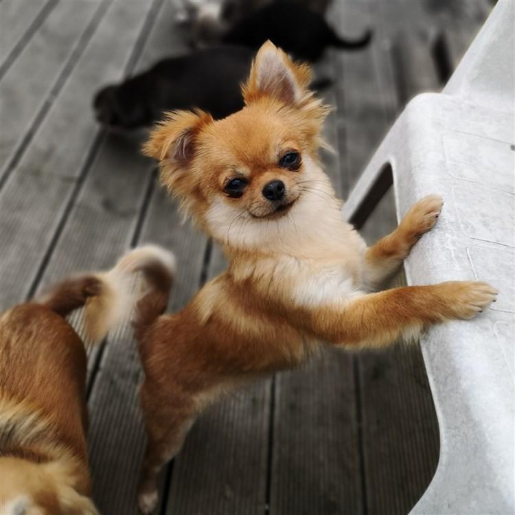 Animal Dog Chihuahua Adult Long Coat Female Pet: Rogue GlamChi Lightning Sparkle