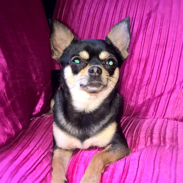 Animal Dog Female Bloodline Chihuahua Adult Short Coat: Penny Gems Black Diamond GlamChi