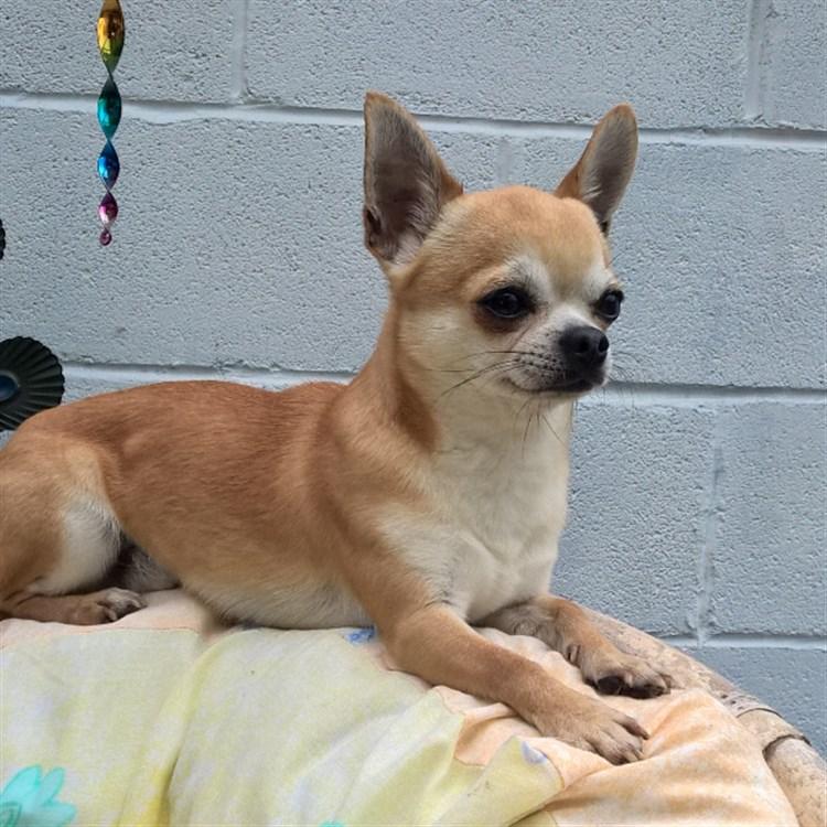 Animal Dog Male Bloodline Chihuahua Adult Short Coat: Mojo Graceland Dude GlamChi
