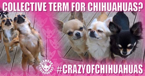 What is a Group of Chihuahuas Called Help Article Image
