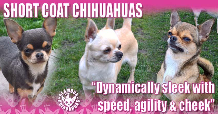 Glamour Chihuahuas Short Coat Glamour Chihuahuas Pets banner image