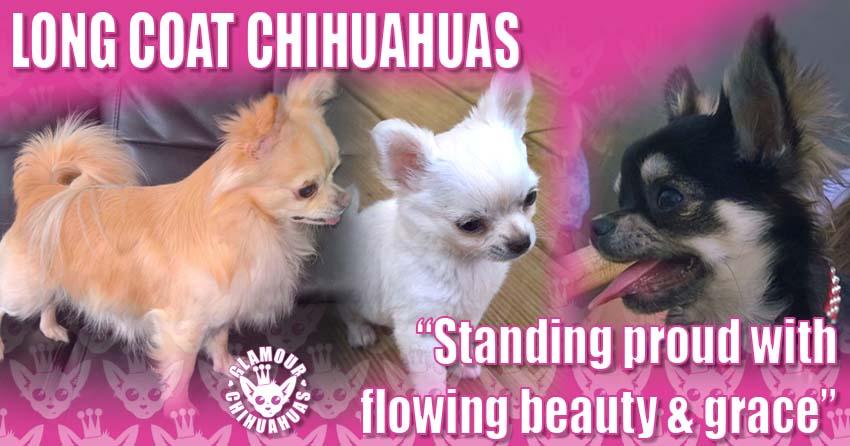 Glamour Chihuahuas Long Coat Glamour Chihuahuas Pets banner image