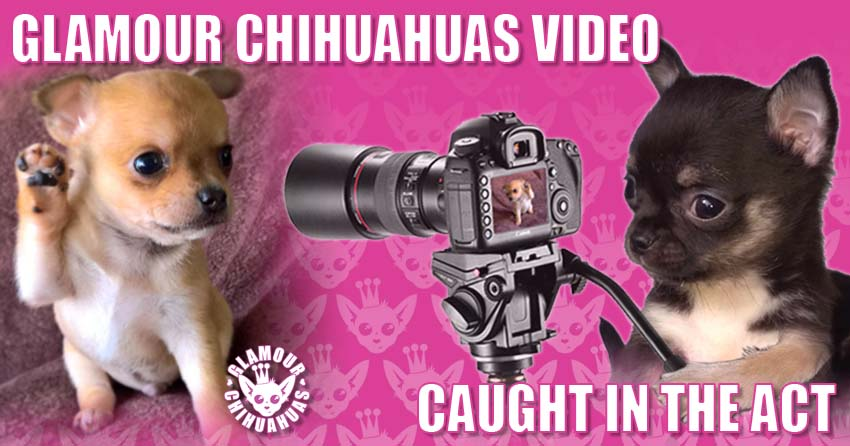 Glamour Chihuahuas Glamour Chihuahuas Video banner image