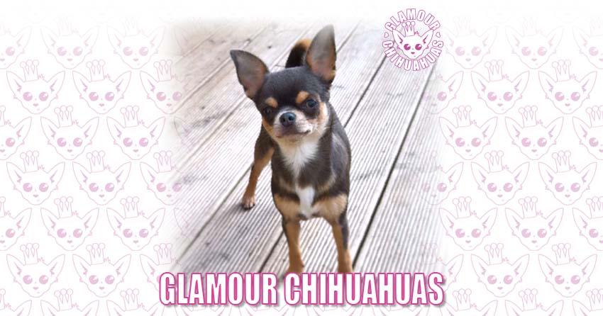 Glamour Chihuahuas Glamour Chihuahuas | Beautifully Glamorous Chihuahuas & Puppies banner image