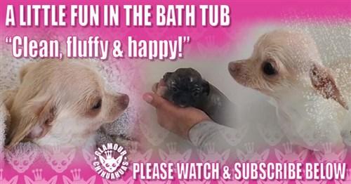 Chihuahua Bath Time Video Video Image