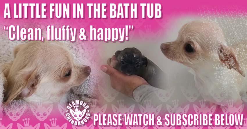 Chihuahua Bath Time banner image