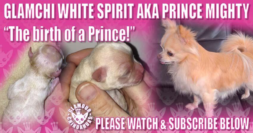 Minnie Puppy Whelp GlamChi White Spirit banner image